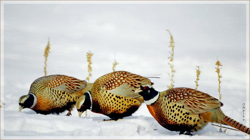 Маньчжурский фазан – дальневосточная Жар-птица. Фото: М.М. Омелько-младший