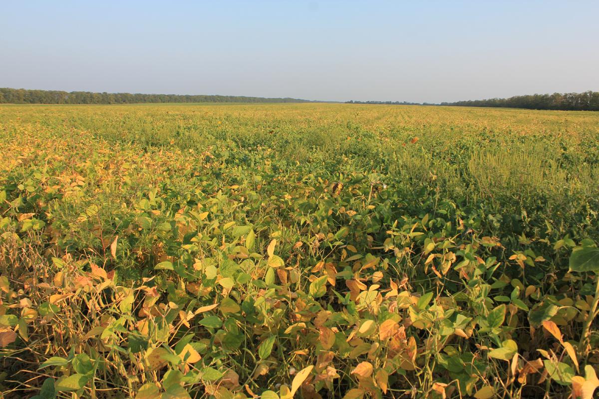 Соевые поля в Краснодарском крае. Фото: Недолужко А.В.